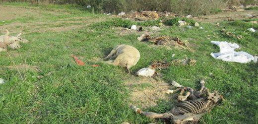 Životinjski otpad u Sremu preti zarazom